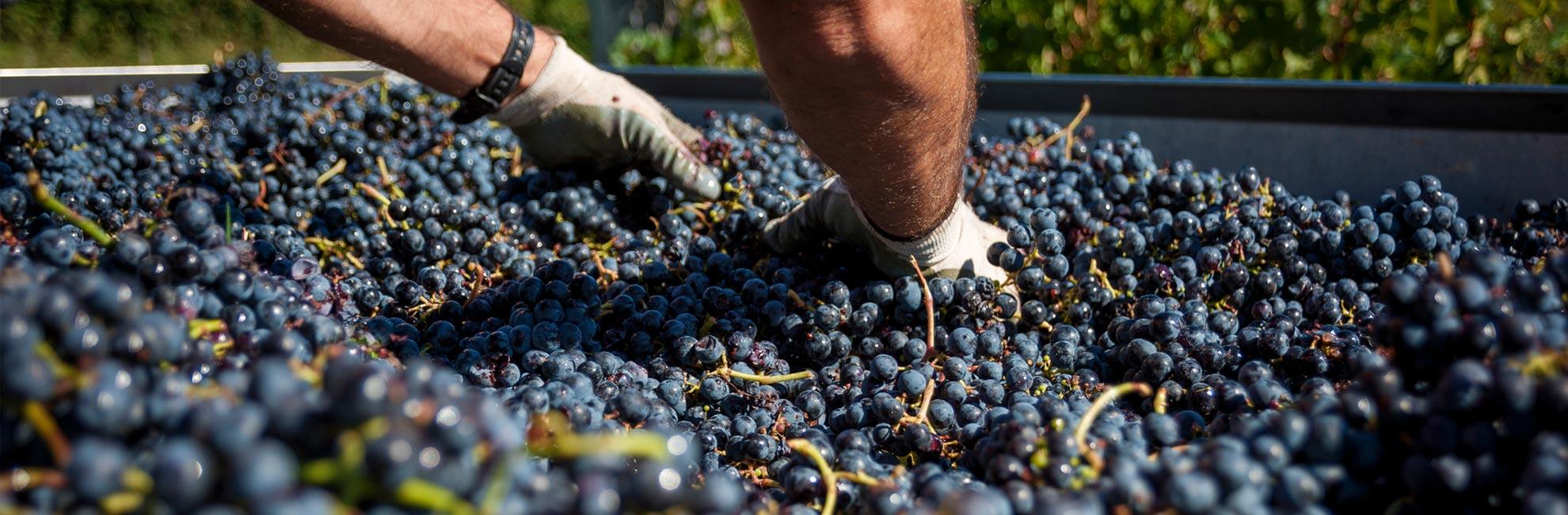 uvas-cosecha-vino